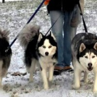 huskies winter walk 2016