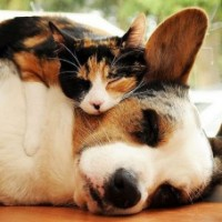 cat and dog snuggle